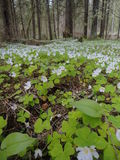 A carpet of spring flowers in the forest. Stock Photo