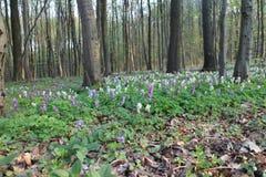 Carpet of spring flowers in forrest near Kačín, Bratislava Royalty Free Stock Images