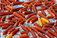 Carpet of sun-dried corn. Ears turned red. Traditional organic food. Autumn royalty free stock photos