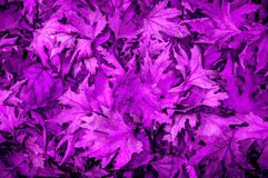 Carpet of Ultraviolet leaves Royalty Free Stock Photos