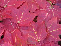 Carpet of vibrant red maple leaves Stock Photo