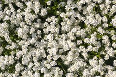Carpet of the white spring flowers Stock Images