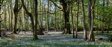 Carpet of wild bluebells amidst the trees in a wood at Ashridge, UK stock image