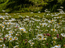 Carpet of wildflowers in spring - 1 Royalty Free Stock Photo
