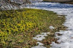 Winter aconites Stock Image