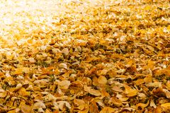 A carpet of yellow autumn leaves stock images