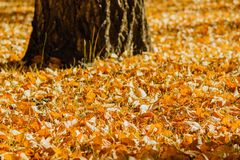A carpet of yellow autumn leaves stock image