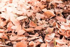 A carpet of yellow autumn leaves stock photo