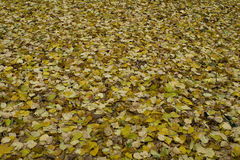 Carpet of yellow leaves lying on the ground in the fall royalty free stock photos