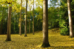 Carpet of yellow leaves. Yellow leaves of the trees have fallen and covered the ground Stock Photos