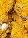 Carpet of Yellow Lichen on Wall Royalty Free Stock Photography