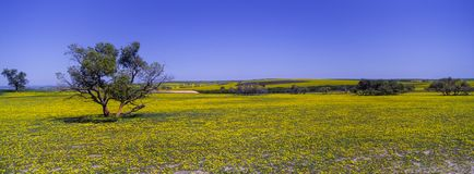 Carpet of yellow wildflowers in Western Australia stock photos