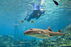 CarpetS. Carpet Shark and divers swimming over reef Royalty Free Stock Photography