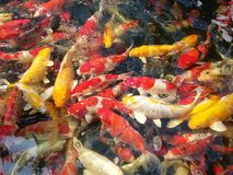 carpfish extravagantes Fotos de Stock