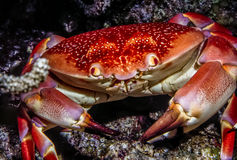 Carpilius corallinus or Batwing Coral Crab Stock Images