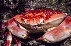 Carpilius corallinus or Batwing Coral Crab Stock Photo