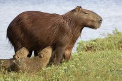 Carpincho (Capibara) feeding her young. The Carpincho is a semi-aquatic herbivorous animal, the largest of living rodents