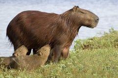 Carpincho (Capibara) ihre Junge speisend Stockbild