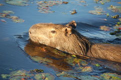 Carpincho in the water. Giant Guinee Pig swimming in Argentine Esteros del Iberá wetlands Stock Photos