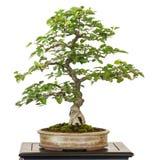 Carpino da Corea come albero dei bonsai Immagini Stock Libere da Diritti