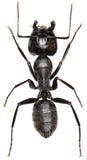 Carpinteiro Ant no fundo branco imagens de stock royalty free