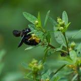 Carpinteiro Bee foto de stock royalty free