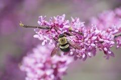 Carpinteiro Bee em flores de Redbud Foto de Stock Royalty Free