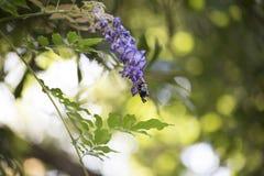 Carpinteiro Bee Hovering em torno de uma flor roxa fotografia de stock