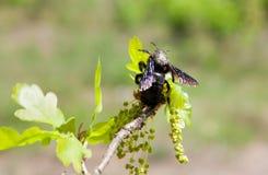 Carpinteiro Bee no ramo de florescência do carvalho fotografia de stock