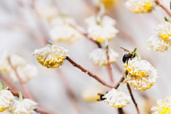 Carpinteiro Bees Pollinating Flowering Bush Fotografia de Stock Royalty Free