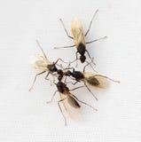 Carpintero Ants Foto de archivo