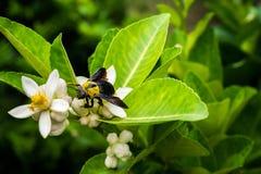 Carpintero Bee Imagenes de archivo