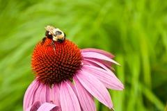 Carpintero Bee Fotos de archivo libres de regalías