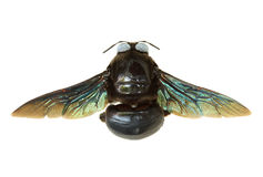 Carpintero Bee Imágenes de archivo libres de regalías
