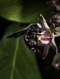 Carpintero Bee Fotografía de archivo libre de regalías