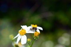 Carpintero Bee Foto de archivo libre de regalías