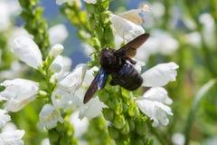 Carpintero Bee Imagen de archivo libre de regalías