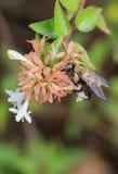 Carpintero Bee - centro de la vertical de la madreselva Imagen de archivo