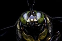 Carpintero Bee de los micans del Xylocopa Fotos de archivo libres de regalías