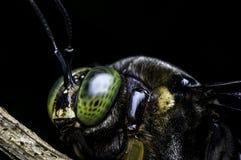 Carpintero Bee de los micans del Xylocopa Imagen de archivo libre de regalías