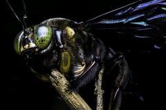 Carpintero Bee de los micans del Xylocopa Imagenes de archivo