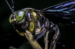 Carpintero Bee de los micans del Xylocopa Fotos de archivo