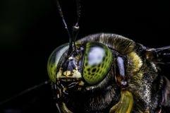 Carpintero Bee de los micans del Xylocopa Fotografía de archivo