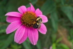 Carpintero Bee Drinking de la flor del cono Foto de archivo libre de regalías