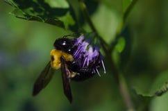 Carpintero Bee en la flor púrpura Imagen de archivo libre de regalías