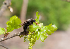 Carpintero Bee en la rama floreciente del roble Fotos de archivo
