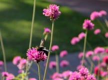 Carpintero Bee en una flor del trébol rojo Fotografía de archivo