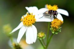 Carpintero Bee en una margarita Viento-estropeada Imagen de archivo