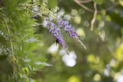 Carpintero Bee Hovering alrededor de una floración púrpura foto de archivo