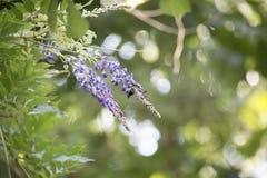Carpintero Bee Hovering alrededor de una floración púrpura fotografía de archivo libre de regalías